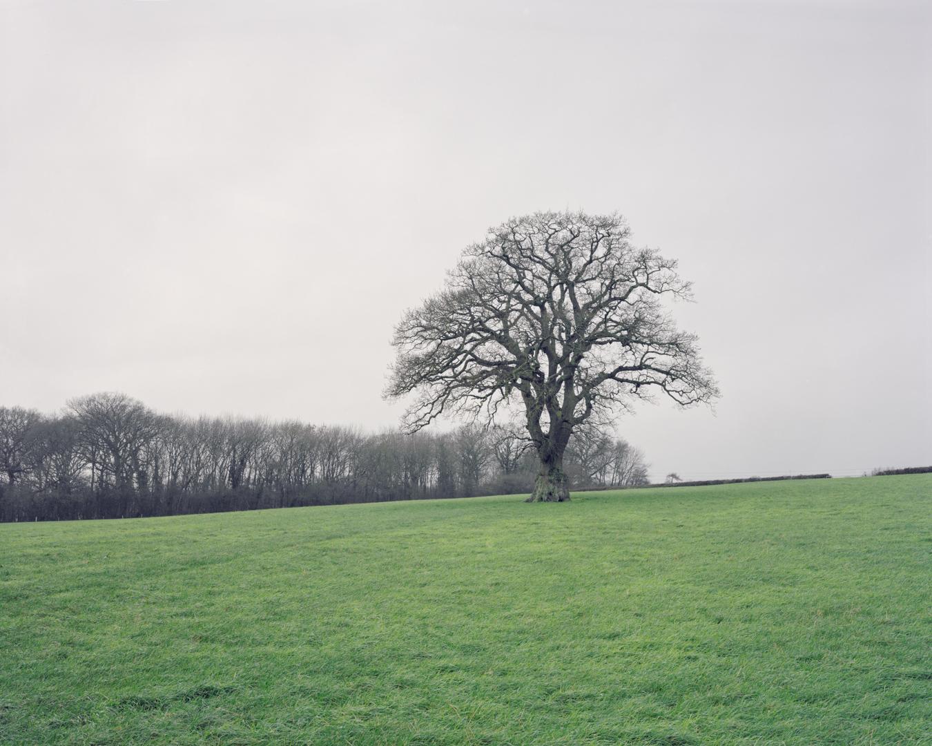 Oak tree marking former hedgeline, Lydiard Tregoze, 2016